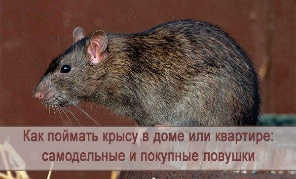 Народные средства от крыс