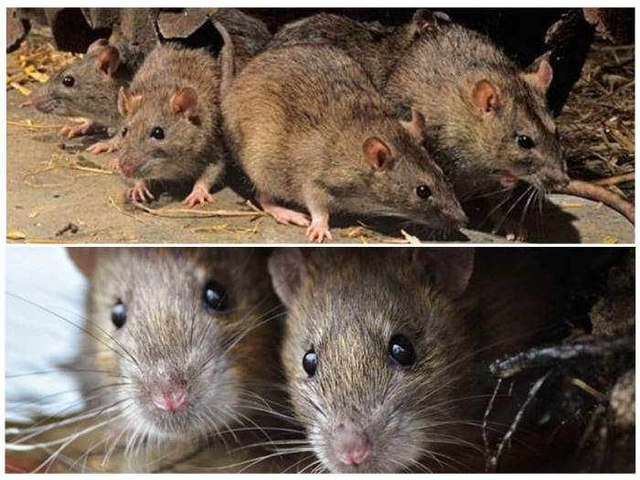 Использование приманок для дератизации крыс и мышей