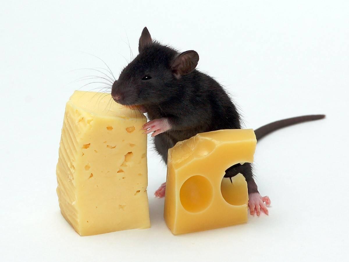 Мышь съела сыр. мыши едят сыр или нет