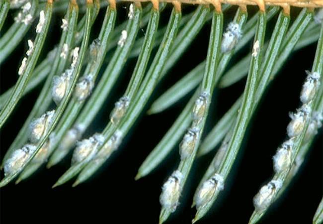 Какие болезни и вредители поражают хвойные растения