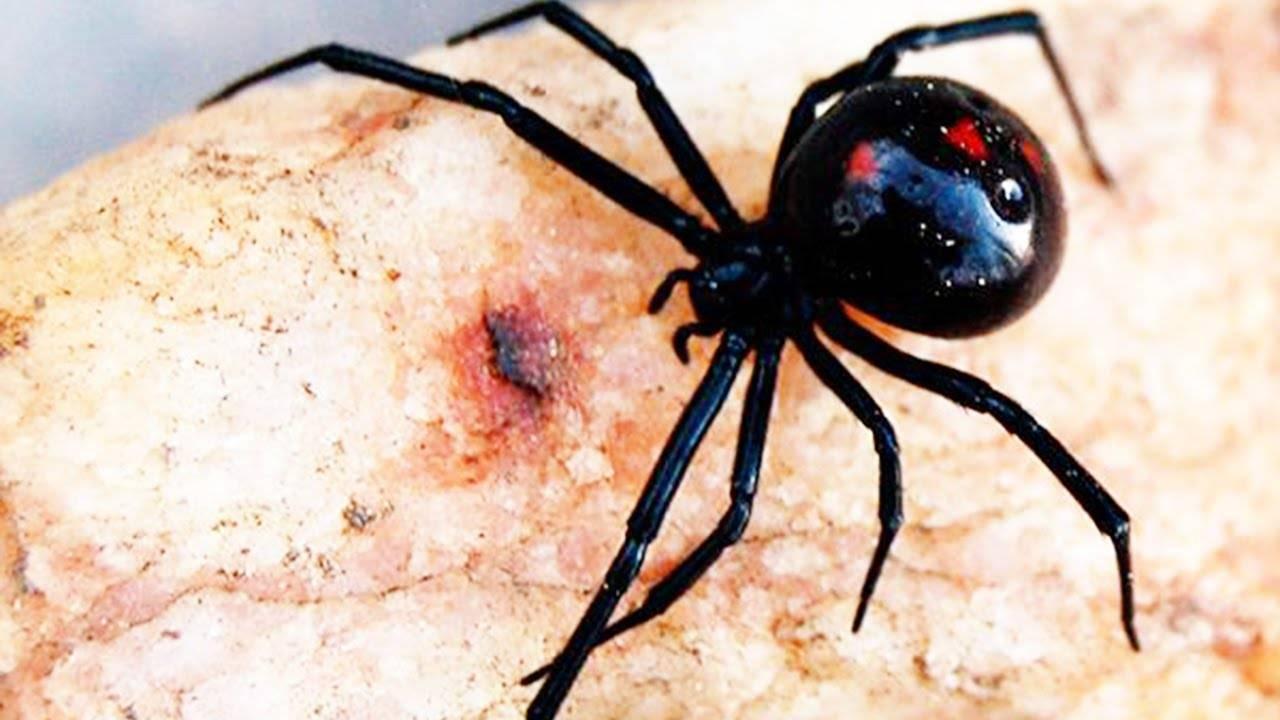 Сколько ног у паука, или почему он – не родня насекомым. сколько лап у паука или самые занимательные факты про существ, живущих в паутине