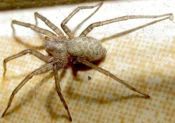 Домовой паук: внешность и места обитания насекомого