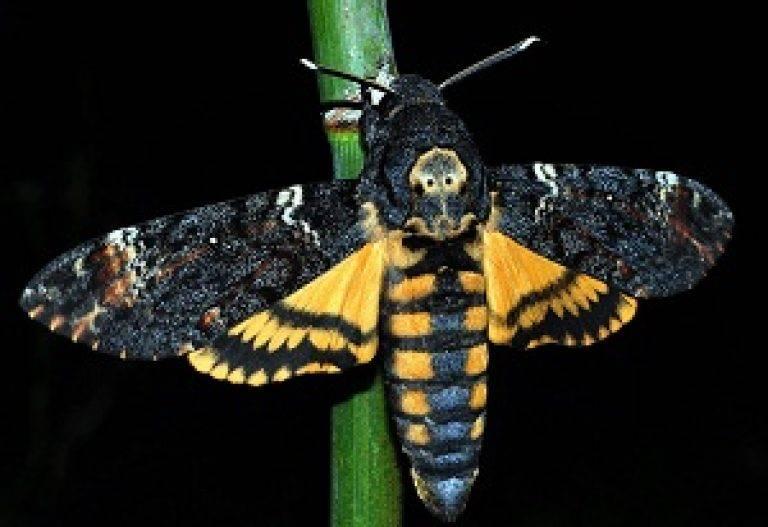 Бабочка бражник — описание, среда обитания, виды