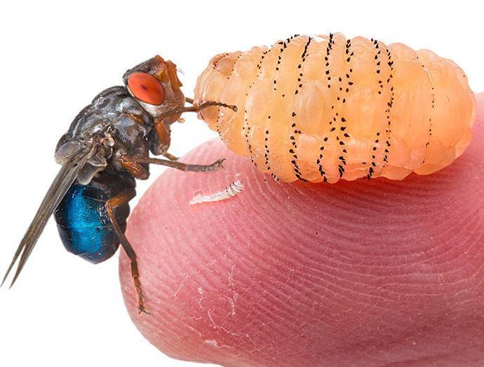 Как понять что овод отложил личинку. личинка овода в человеке: симптомы, последствия, удаление