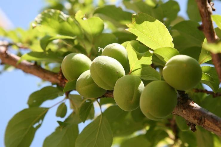 Чем обработать абрикос от вредителей и болезней. как быстро и эффективно избавиться от тли на деревьях на абрикосу напала гусеница что делать