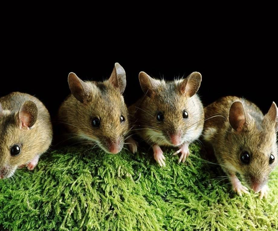 Акомис (иглистая мышь): содержание дома