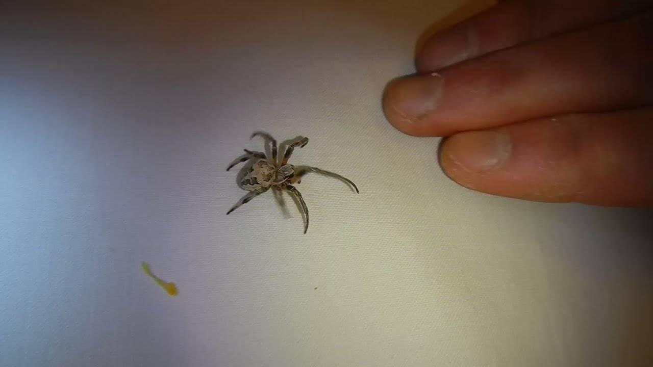 Опасен ли паук крестовик?