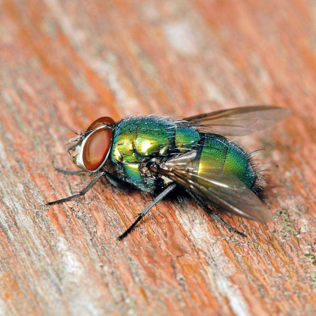 Виды мух