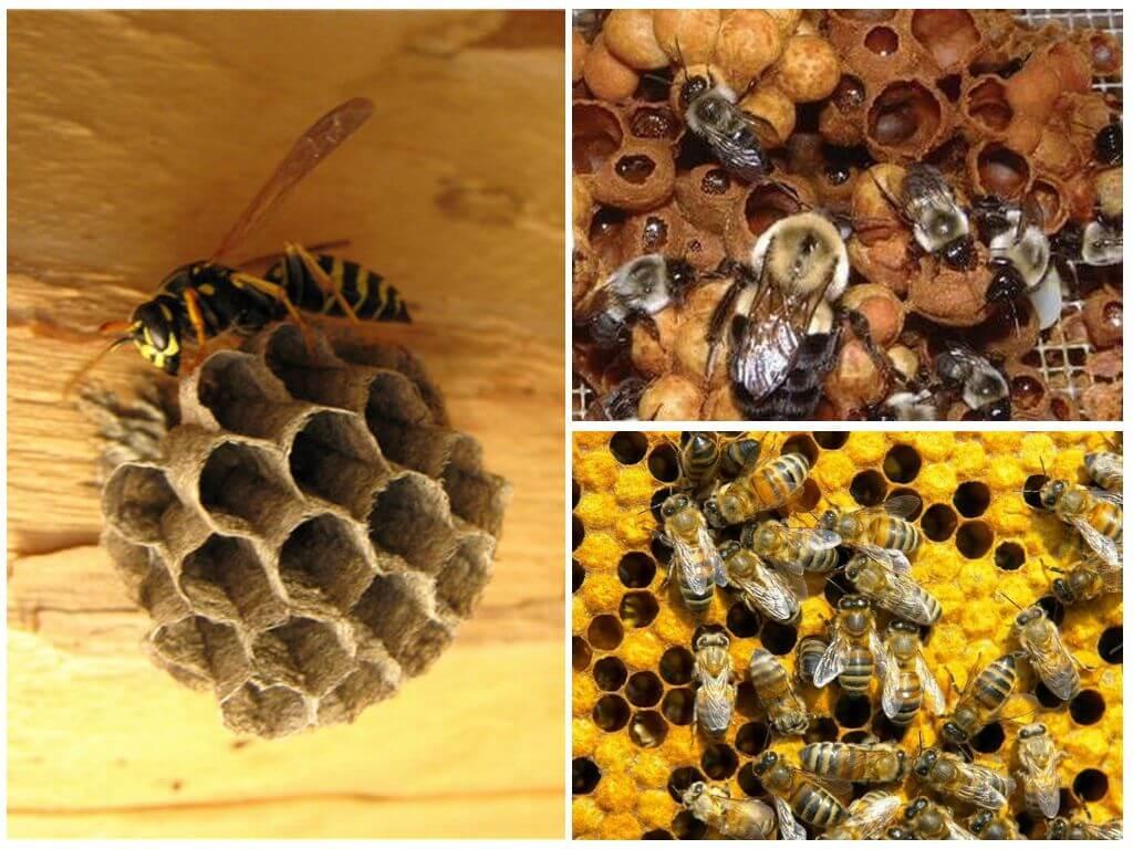 Чем отличаются друг от друга пчелы, осы, шершни и шмели: внешний вид, питание, обитание