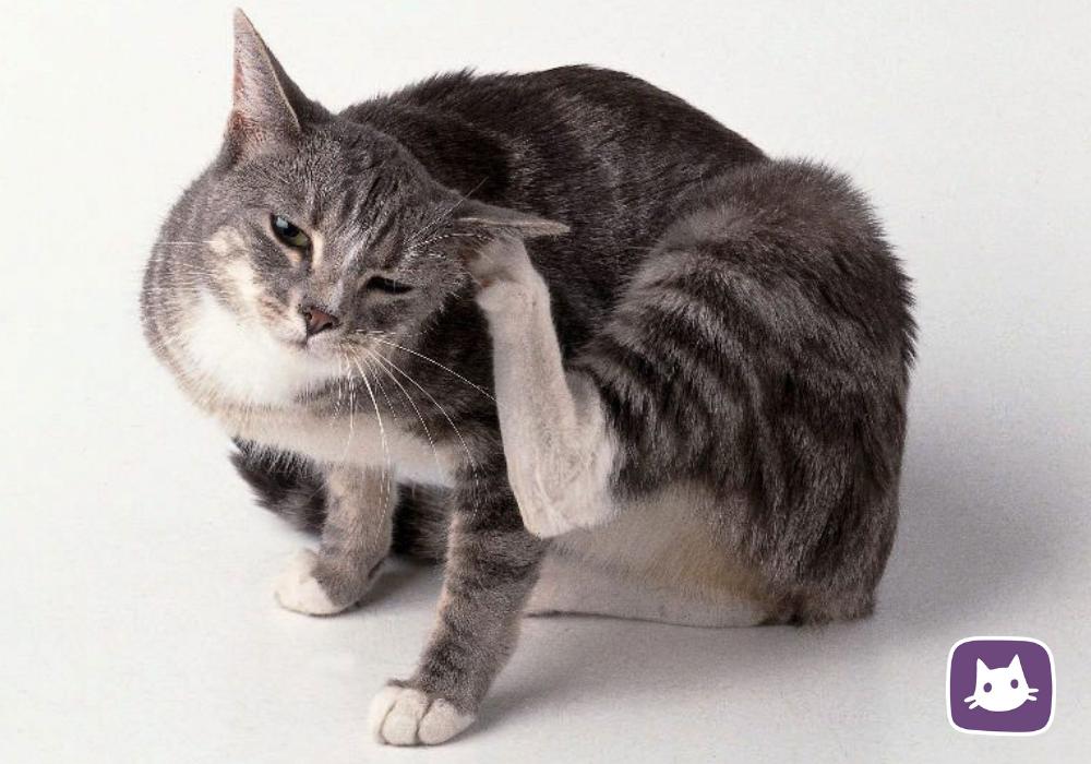 Отодектоз у кошек: симптомы и лечение в домашних условиях