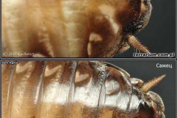 Разновидности тараканов, образ жизни, среда обитания и поведение. такие разные виды тараканов: домашние, тропические, лесные и даже летающие. фото и описание всех разновидностей