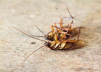 Как поймать таракана в домашних условиях