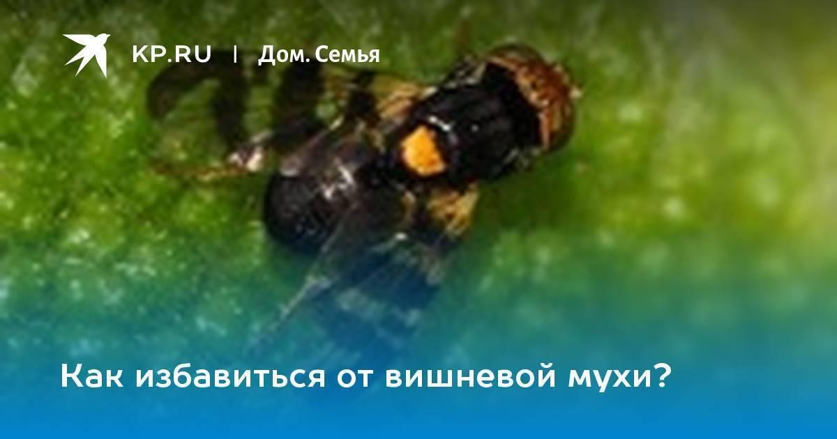 Что делать, при появлении вишневой мухи, чем обработать и опрыскать чтобы избавиться