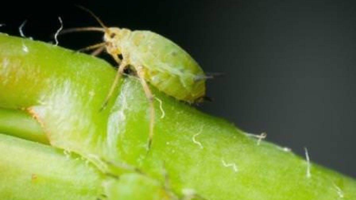 Тля на огурцах (68 фото): контроль за здоровьем растений в тепличных условиях. инструкция от садоводов!