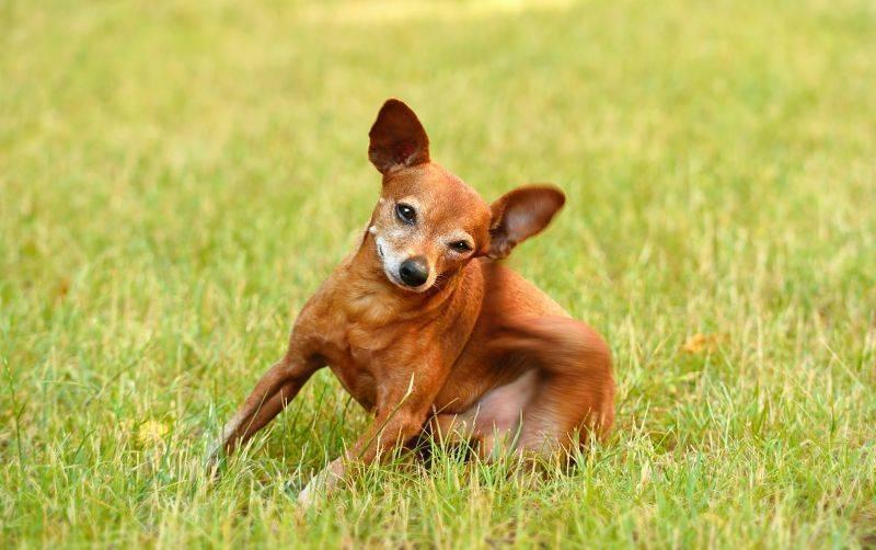 Обеспечение защиты от мошек для собаки. как защитить собаку от комаров и мошек что делать, если собаку укусило насекомое