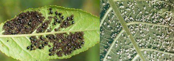 Разновидности садовой тли: как она размножается и чего боится