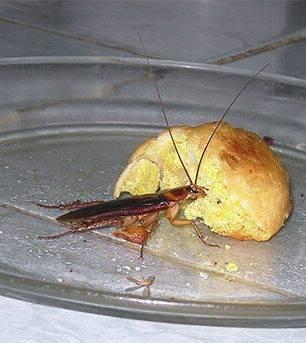 Тараканы в домашних условиях: чем питаются, особенности ротового аппарата, что едят в квартире. сколько времени живут тараканы без еды?