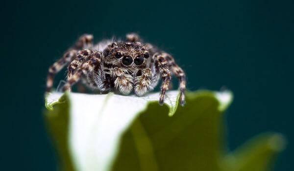 Паук скакун в домашних условиях. паук-скакун – самый стремительный представитель своего семейства