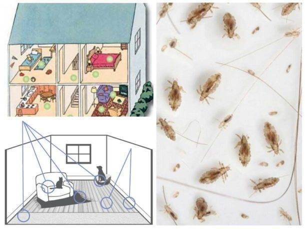 Как вывести блох из квартиры и дома