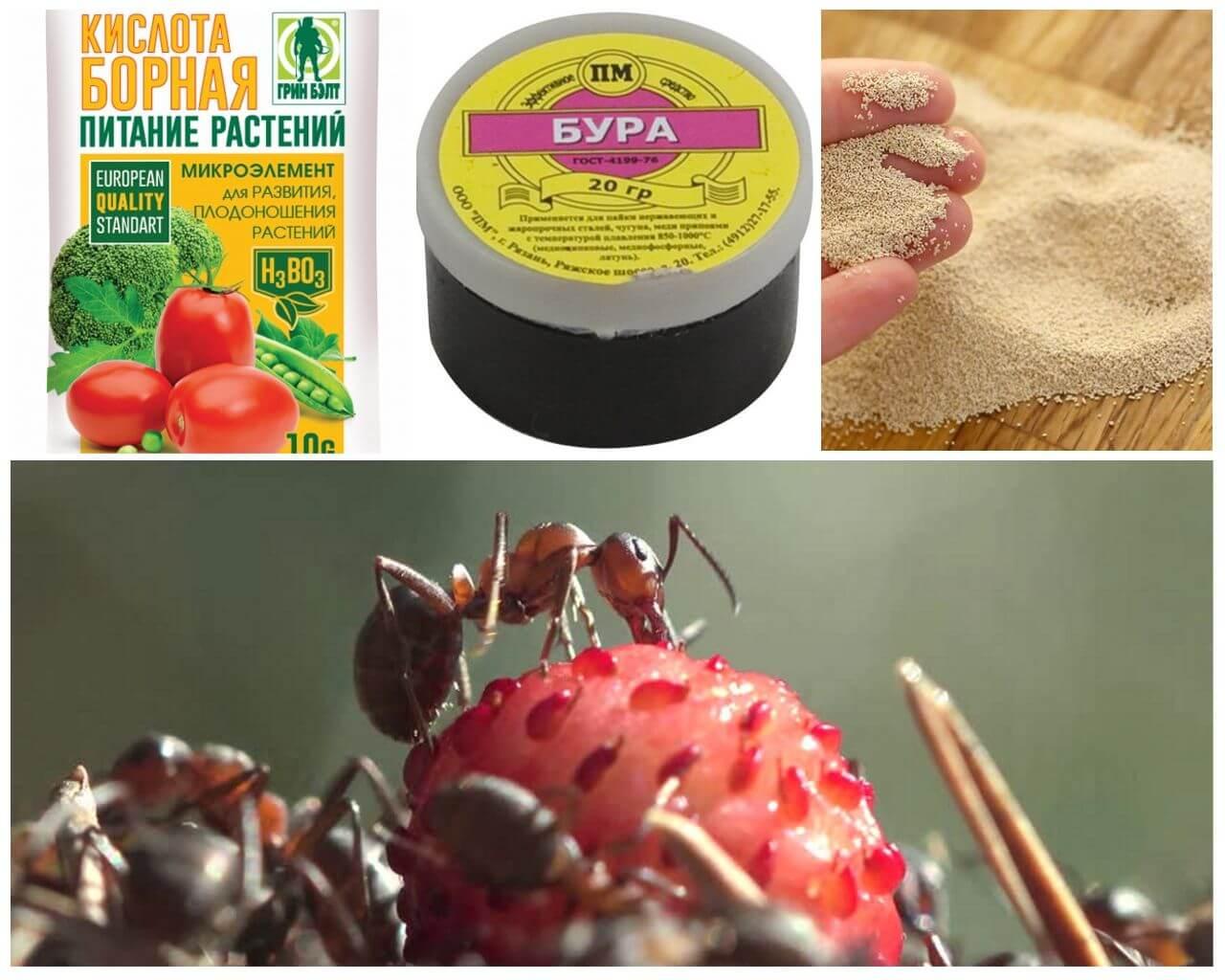 Что делать, если в клубнике поселились муравьи