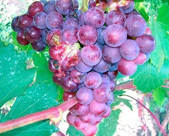 Как защитить виноград от ос