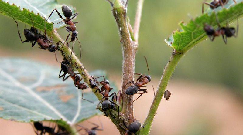 Эффективное средство от садовых муравьев найдено!