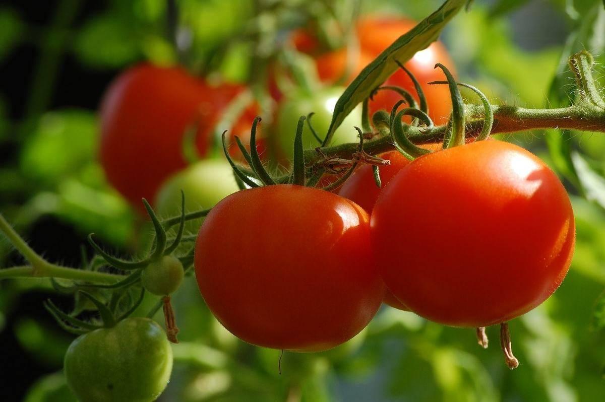 Как бороться с тлей на рассаде помидоров? причины возникновения и способы профилактики