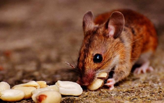 Ловушки для мышей своими руками
