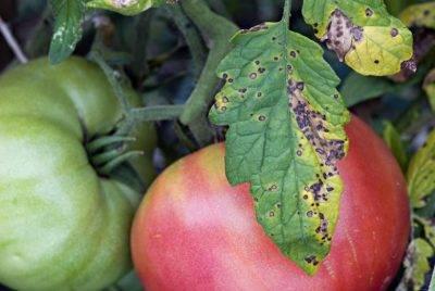 Как эффективно избавиться от тли на помидорах, борьба с вредителем