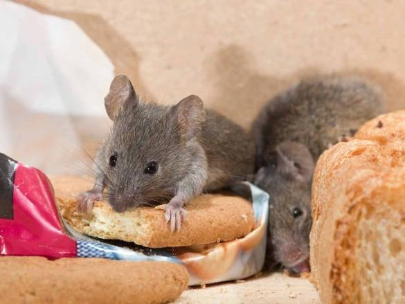 Борьба с мышами в каркасном доме