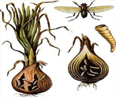 Как избавиться от луковой мухи (мошки) в квартире, доме