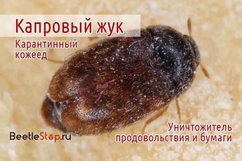 Капровый жук – истребитель продовольственных запасов