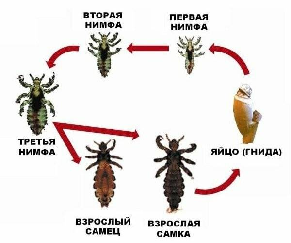 Вши – виды, описание с фото, откуда берутся и как избавиться?