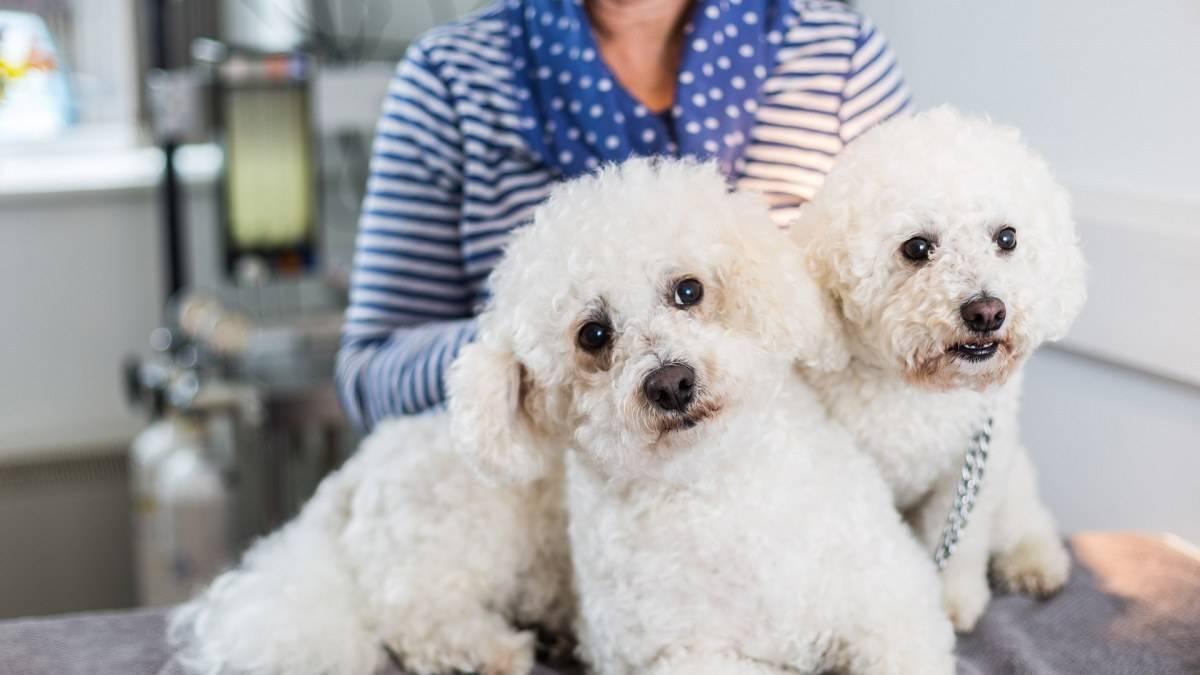 Пироплазмоз у собаки – лечение, препараты, профилактика