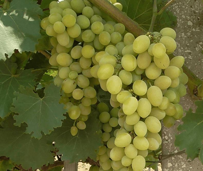 Как уберечь виноград от ос и пчел 5 разными способами