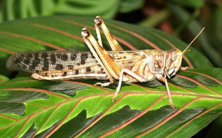 Самая большая саранча. саранча насекомое фото описание доклад виды саранчи видео информация сообщение. внешние отличия: у саранчи более короткие усы и лапки, чем у кузнечика