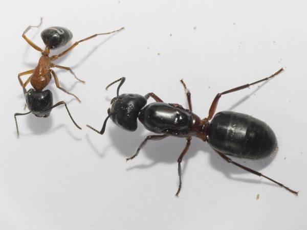 Чёрные муравьи дома и на земельном участке