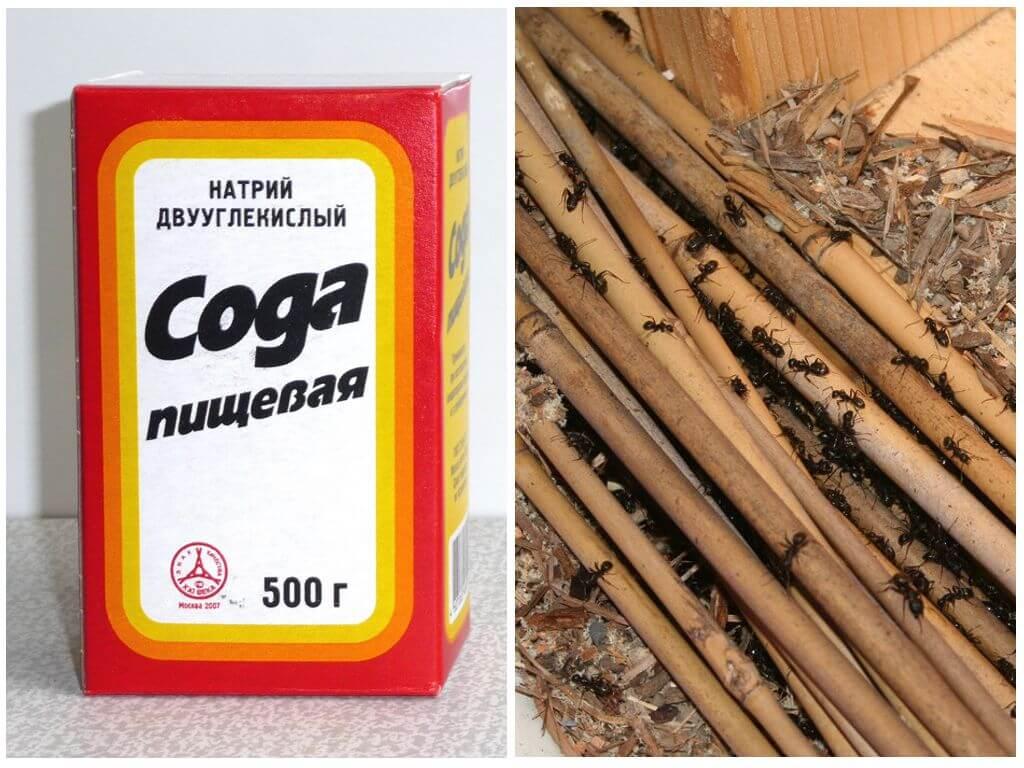 Используем соду против тли, муравьев и других вредителей