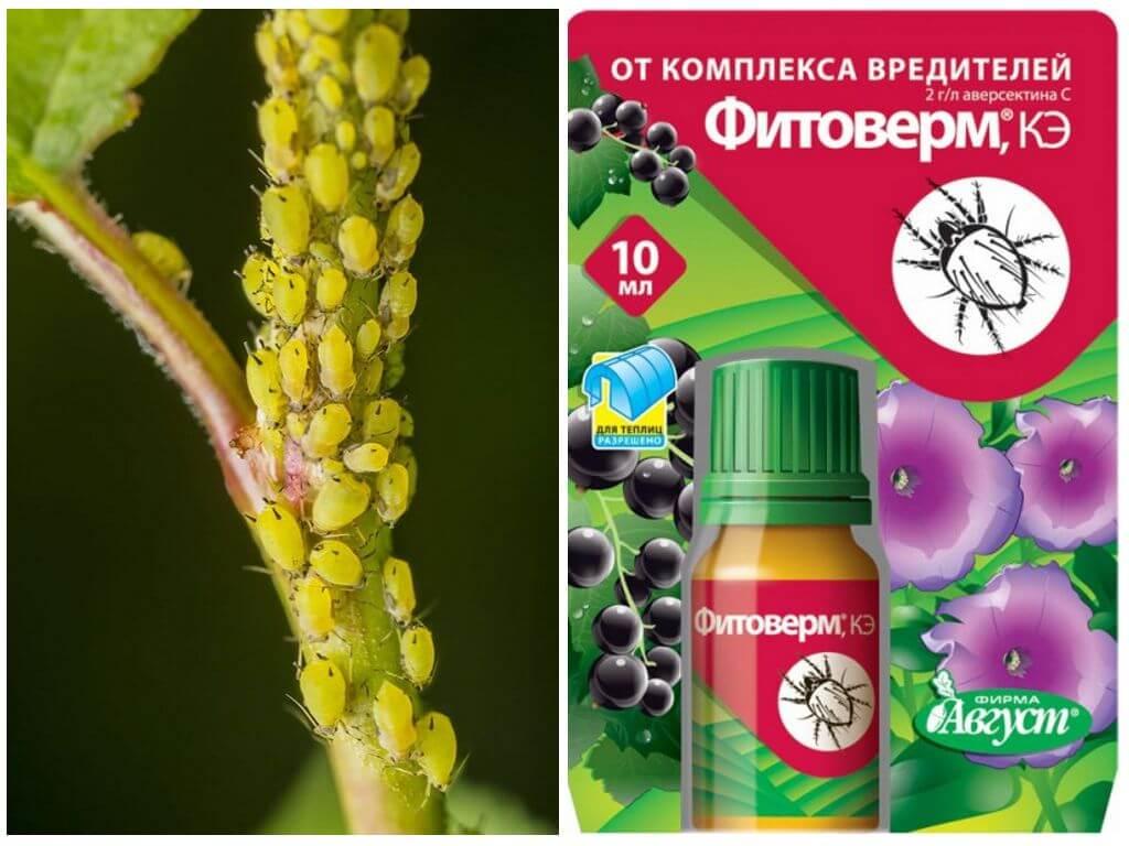 Методы борьбы с тлей на овощах: обзор химических препаратов и народные способы борьбы