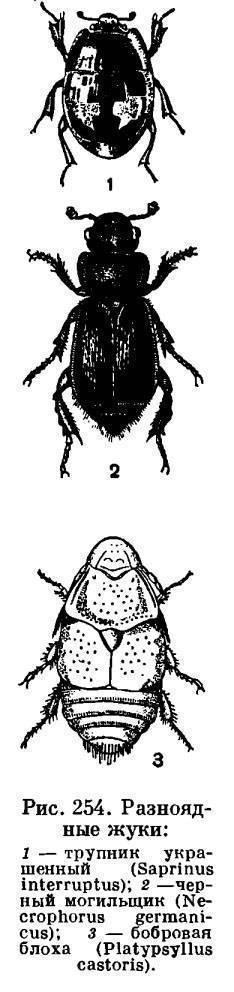 Классический листоед под названием бабануха