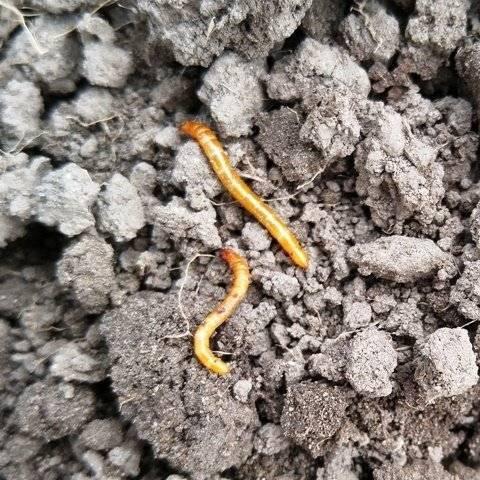 Проволочник в картошке — как избавиться?