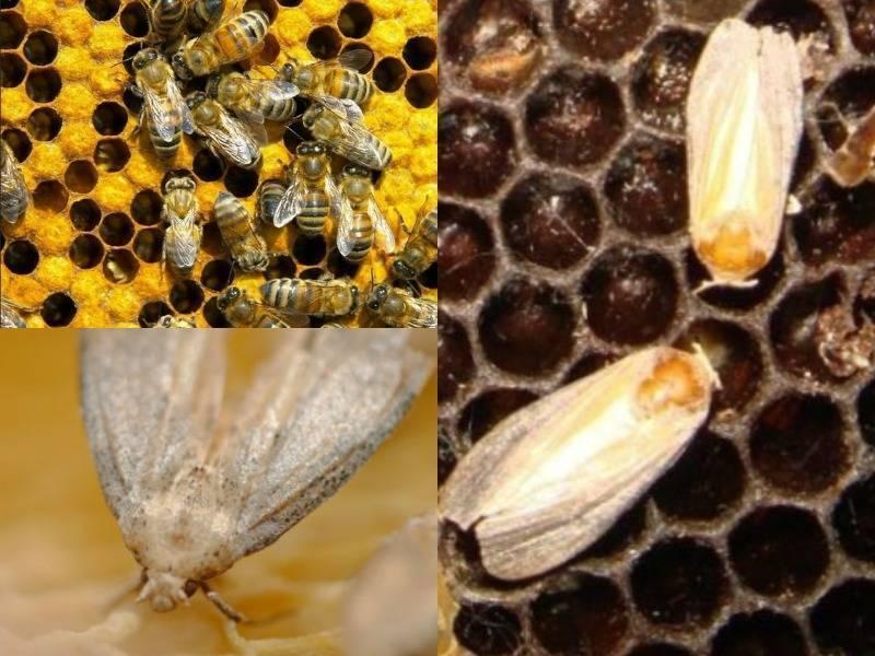 Применение настойки на основе пчелиной моли