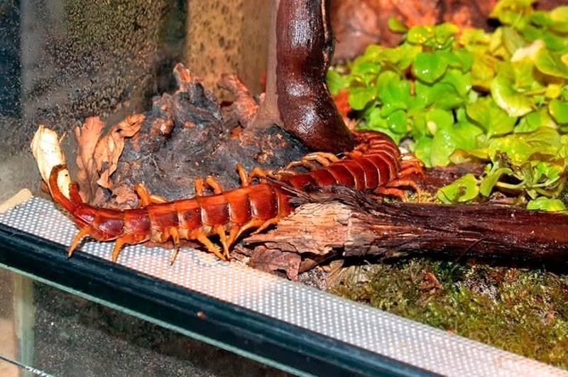 Класс многоножки фото. чем на самом деле является насекомое многоножка? распространенное описание, виды, вред и польза, способы борьбы почему она заводится в квартире