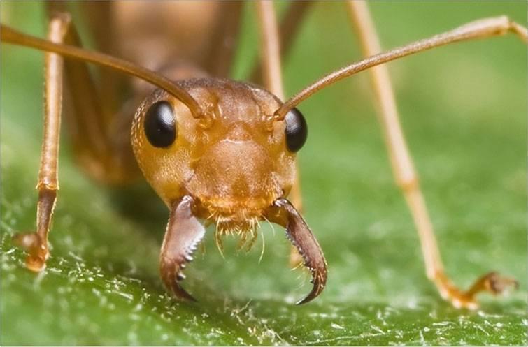 Сколько нужно муравьев чтобы поднять человека. спят ли муравьи? почему муравей может поднять больше своего веса