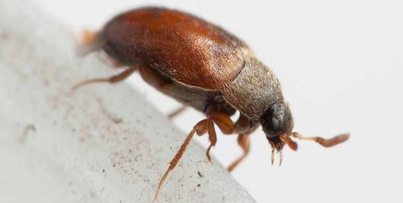 Что представляют маленькие коричневые жучки в квартире