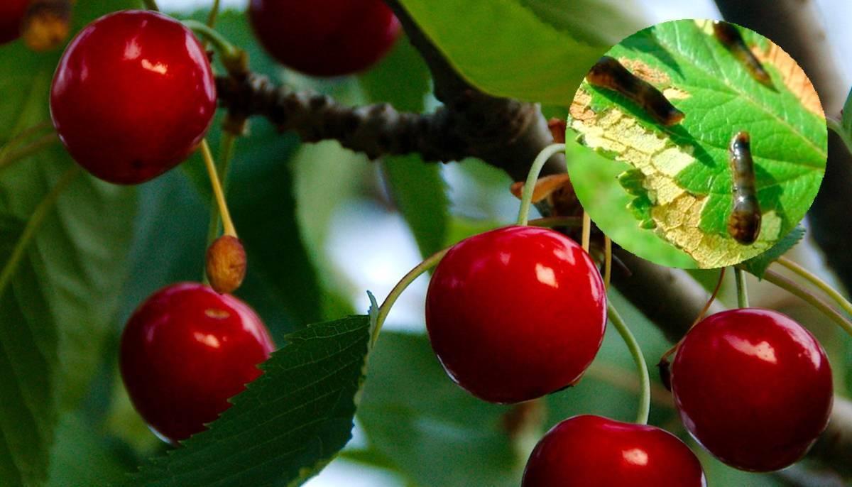 Как уберечь вишневый сад от слизистого пилильщика. пилильщик: меры борьбы, средства и препараты вишневый слизистый пилильщик