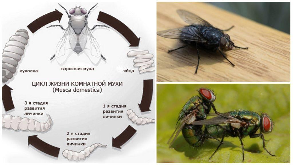 Мясная муха: описание, личинки, срок жизни. что будет, если съесть яйца или личинки мухи яйца мухи на продуктах
