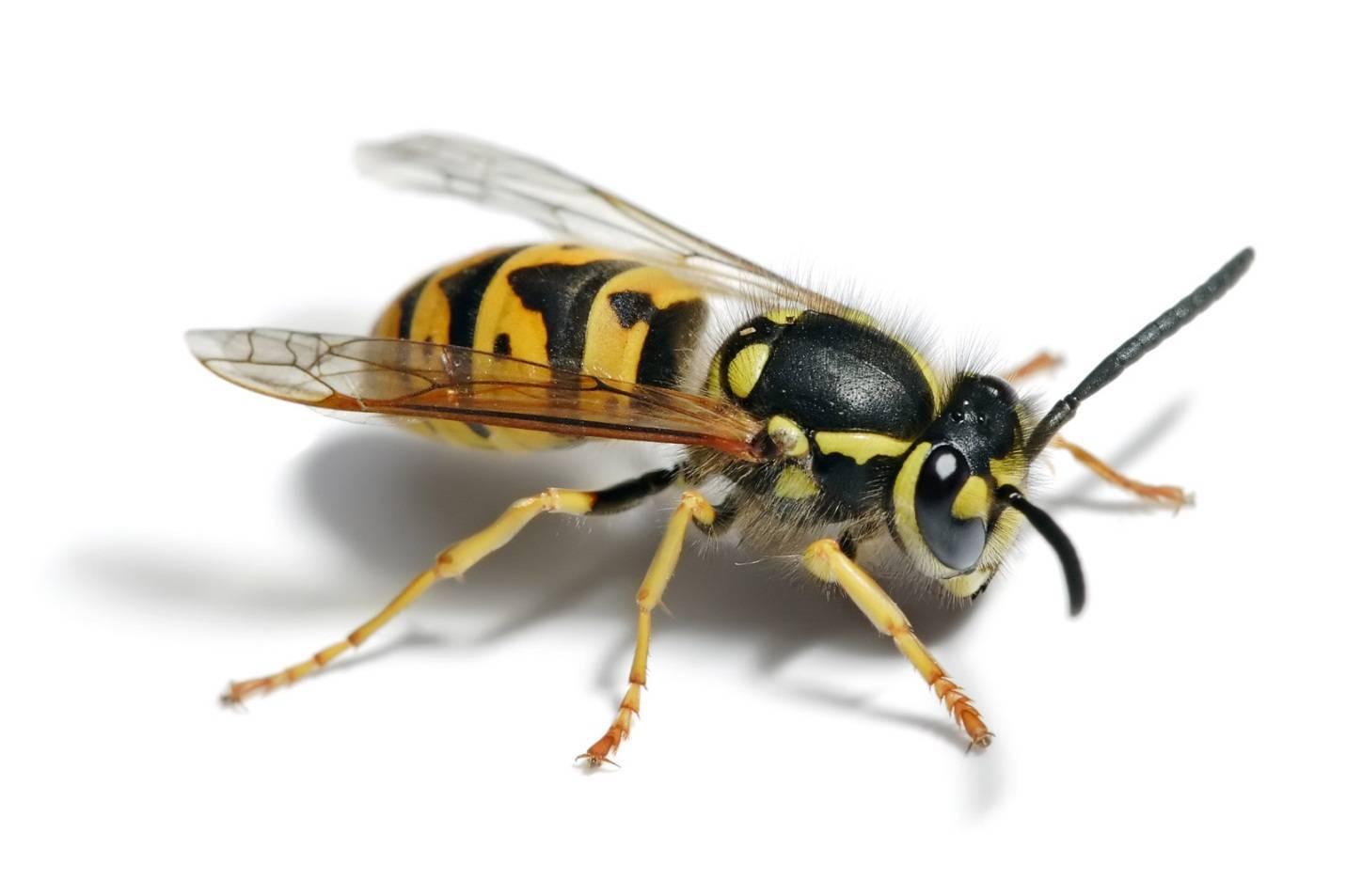 Дорожные осы: описание и интересные факты