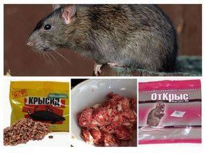 Как вывести крыс из сарая народными средствами