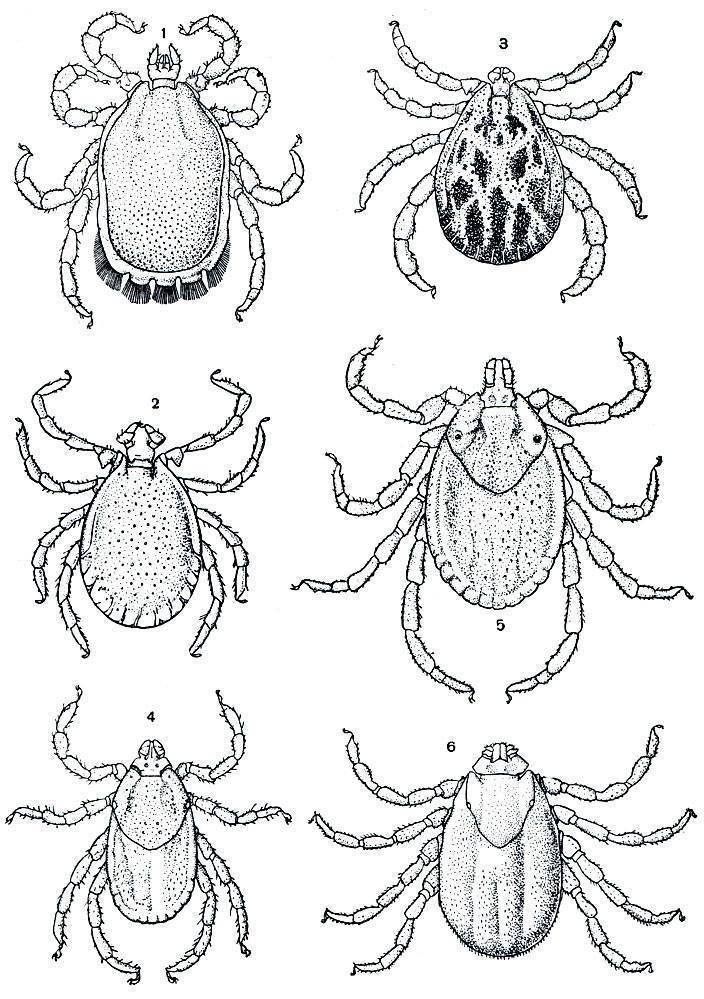 Как размножаются клещи — стадии развития и особенности